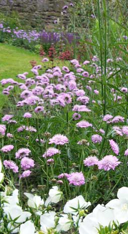 merchiston-herbaceous-long-border-scabious