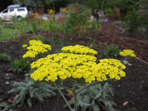yellow-achillea-new-planted